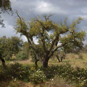 cork oak, alentejo, portugal